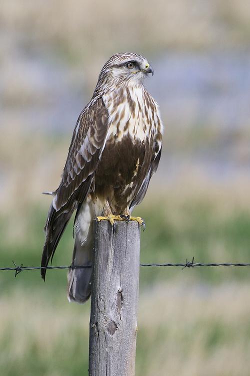 Rough-legged Hawk perched on a fence post