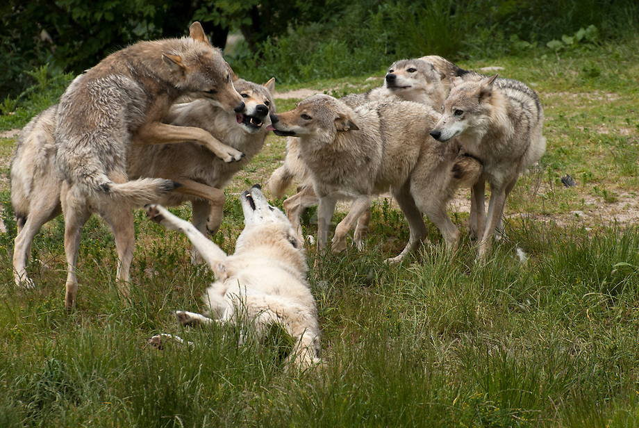 Wolf (Canis lupus), hyrargie bepalend gedrag