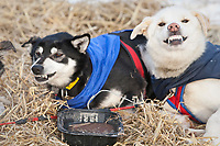 Dogs at the Shageluk checkpoint growl & snarl at each other over food during Iditarod 2009