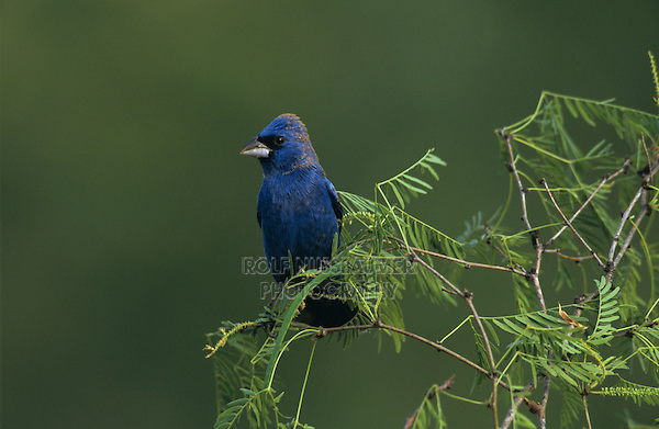 Blue Grosbeak, Guiraca caerulea, male, Starr County, Rio Grande Valley, Texas, USA, April 2002