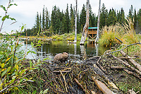 North American Beaver (Castor canadensis) working on dam it has built on a small stream.  Northern Rockies,  Fall.  This shows the viewing stand on the Beaver Boardwalk at Hinton, Alberta.