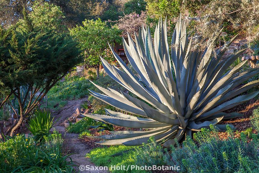 Agave americana Century Plant or Maguey, succulent in Debra Lee Baldwin garden