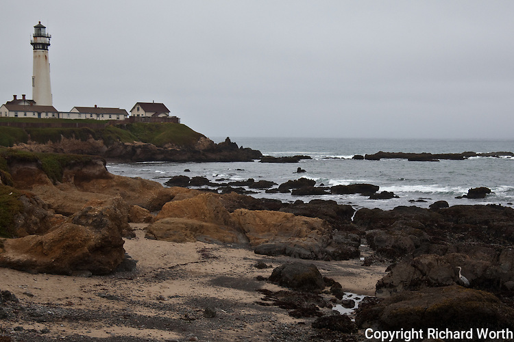 A great blue heron hunts among the rocks and vegetation at Pigeon Point Lighthouse.