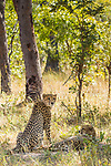 Cheetah (Acinonyx jubatus) four year old male brothers in miombo woodland, Kafue National Park, Zambia