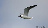 0609-0901  Laughing Gull in Flight, Leucophaeus atricilla  © David Kuhn/Dwight Kuhn Photography