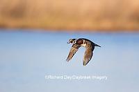 00715-08911 00715-089.10 Wood Duck (Aix sponsa) male in flight,  Marion County, IL