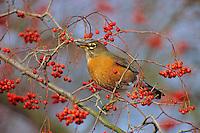 American Robin (Turtis migratorius) feeding on berries.  winter.