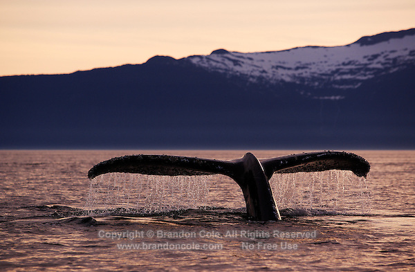 pu0102-D. Humpback Whale (Megaptera novaeangliae), tail flukes at sunset. Alaska, USA, Pacific Ocean..Photo Copyright © Brandon Cole. All rights reserved worldwide.  www.brandoncole.com..This photo is NOT free. It is NOT in the public domain. This photo is a Copyrighted Work, registered with the US Copyright Office. .Rights to reproduction of photograph granted only upon payment in full of agreed upon licensing fee. Any use of this photo prior to such payment is an infringement of copyright and punishable by fines up to  $150,000 USD...Brandon Cole.MARINE PHOTOGRAPHY.http://www.brandoncole.com.email: brandoncole@msn.com.4917 N. Boeing Rd..Spokane Valley, WA  99206  USA.tel: 509-535-3489
