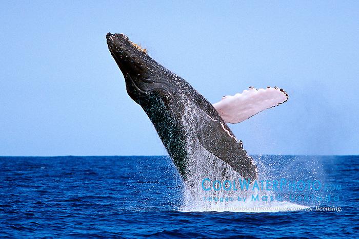 humpback whale, breaching, Megaptera novaeangliae, Big Island, Hawaii, Pacific Ocean
