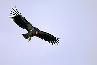 California Condor (Gymnogyps californianus) soaring on thermals.  Southwestern U.S.  Note:  All but one of the hundred plus wild california condors in North America are number tagged and fitted with a radio wing clip so biologists can track them.  The one unmarked condor is a wild born juvenile that has not been captured at this time (biologists are planning to try and capture it this winter).