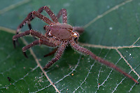 A wolf spider rests on a leaf in Peruís Amazon Jungle.