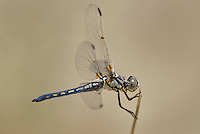 389270012 a wild female bleached skimmer libellula composita near a large pond in southern inyo county california