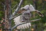 Great gray owl stretching wings. Grand Teton National Park, Wyoming.