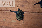 A Sharp-Nosed Bat (Rhynchonycteris naso) Selva Verde, Costa Rica