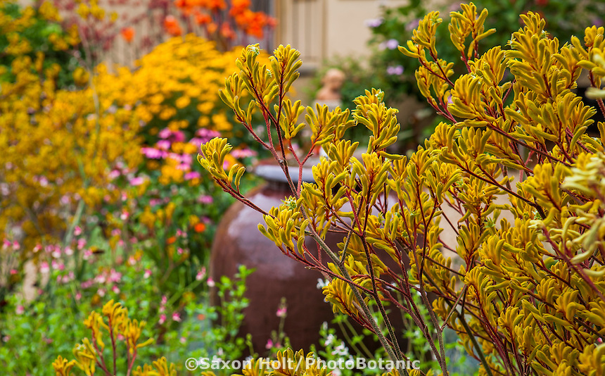 Yellow flower perennial with maroon red stems, Kangaroo Paw - Anigozanthos 'Harmony' in drought tolerant California garden