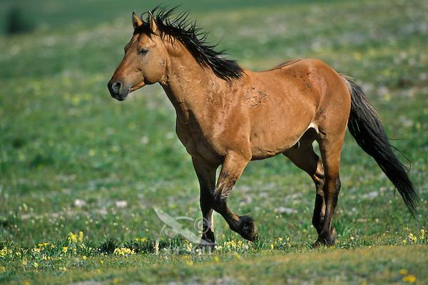 Wild Horse stallion running across high mountain meadow.  Pryor Mountains, Montana.  Summer..(Equus caballus)