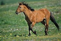 Wild Horse stallion running across high mountain meadow.  Pryor Mountains, Montana.  Summer..(Equus caballus)