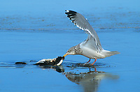 540053002 a wild herring gull larus arentatus feeds on a dead shorebird in a lake at klamath national wildlife refuge in northern california