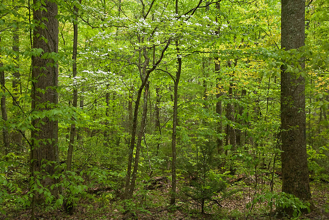 Spring forest along Saint Mary's River, Saint Mary's Wilderness Area