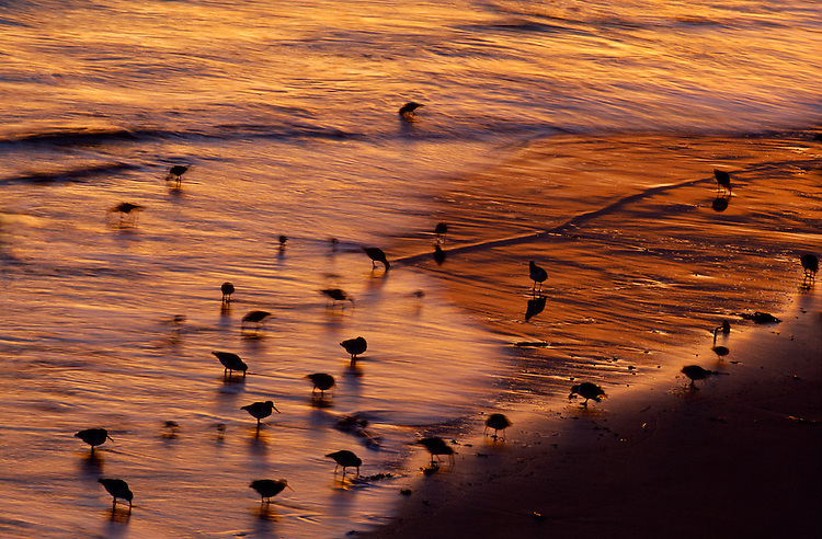 Mixed coastal waders at dawn