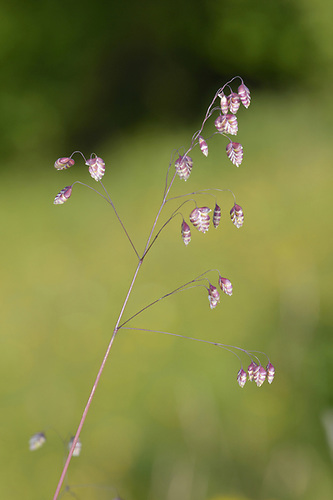 Quaking Grass - Briza media