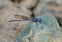 338500003 a wild male kiowa dancer damselfly argia immunda in dark coloration due to cold perchs on a rock in a stream at jewel of the creek conservation area maricopa county arizona