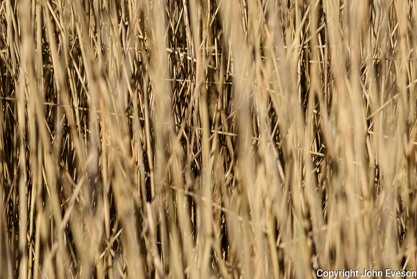 Reeds at Leighton Moss RSPB nature reserve, Lancashire.