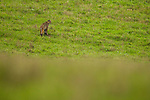 Bobcat (Lynx rufus) female in field, Point Reyes National Seashore, California