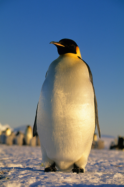 ANTARCTICA, ATKA ICEPORT, EMPEROR PENGUIN ON FAST ICE