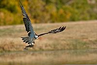 Osprey catches fish at Inks Dam Fish Hatchery, Burnet, TX