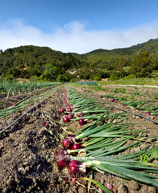 Fresh picked onions at Avila Valley Barn, farm stand and petting zoo in Avila Valley, San Luis Obispo County, California