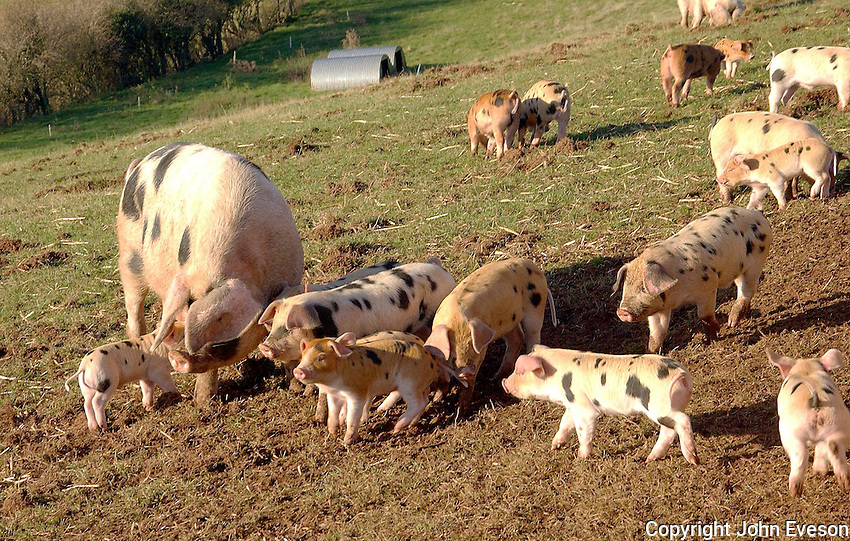 Gloucester Old Spot sow and piglets..