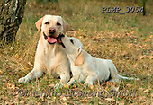 Marek, ANIMALS, REALISTISCHE TIERE, ANIMALES REALISTICOS, dogs, photos+++++,PLMP3054,#a#, EVERYDAY