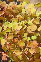 Oxalis vulcanicola 'Molten Lava' annual foliage plant yellow orange colored shamrocks