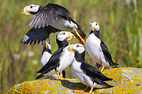 Horned puffins (Fratercula corniculata) take off at Ninagiak Island, Alaska