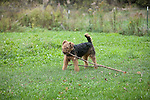 Airedale, Terrier<br />