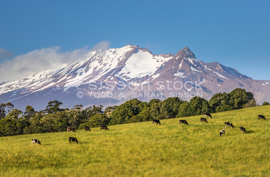 Cattle grazing , Mount Ruapehu, New Zealand - stock photo, canvas, fine art print