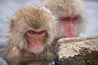 Jigokudani National Monkey Park, Nagano, Japan<br /> Japanese Snow Monkeys (Macaca fuscata) in hot spring waters of Jigokudani monkey park in the Yokoyu River valley