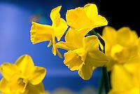 Narcissus (daffodil) jonquilla hybrid.daffodil 'Quail'