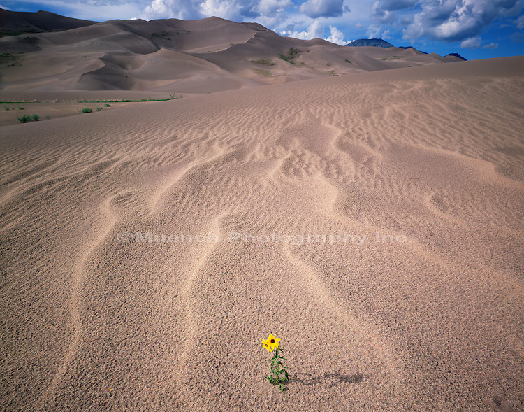 Lone Sunflower Great Sand Dunes NP  COLORADO