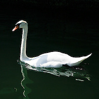 Un cigno bianco sul Lago d'Iseo a Lovere..A white swan on the Iseo lake at Lovere.