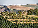 Rolling hills with vineyards and olive trees, Forli, Italy.