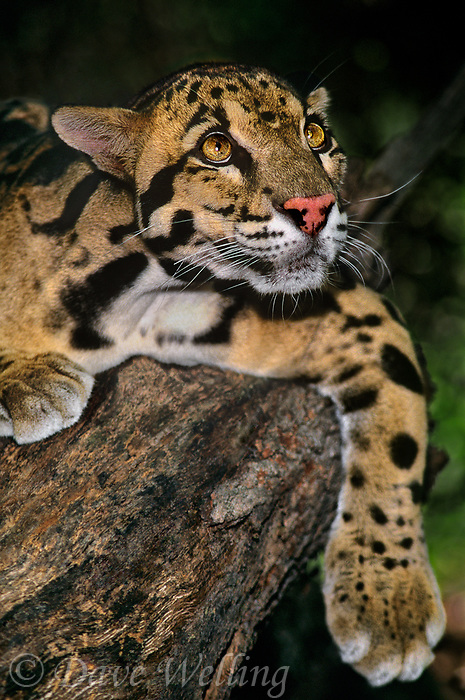 654344001 a captive wildlife rescue clouded leopard neofelis nebulosa lays on a large log at a wildlife rescue facility - species is native to central asia and is highly endangered