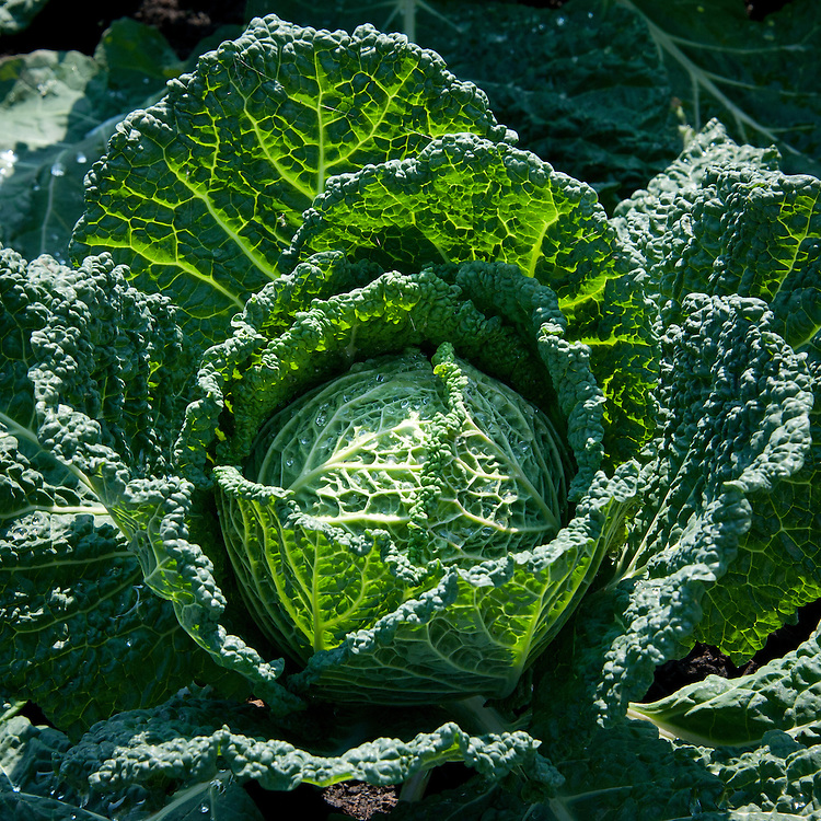 Cabbage 'Serpentine', a round Savoy cabbage for summer/autumn harvest, producing medium to large green heads with good over-wrapping leaves.
