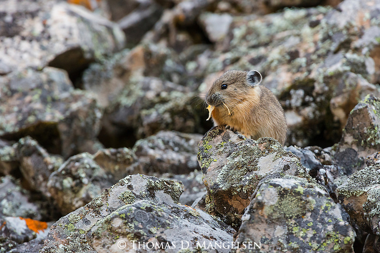 An American pika pauses on a rock in Bridger-Teton National Forest, Wyoming.