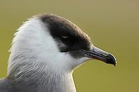 Arctic skua / Stercorarius parasiticus<br /> Bj&oslash;rndalen<br /> Svalbard<br /> Norway