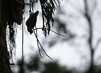 A Red-lored parrot hangs from a vine.