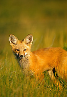 Red Fox in Montana