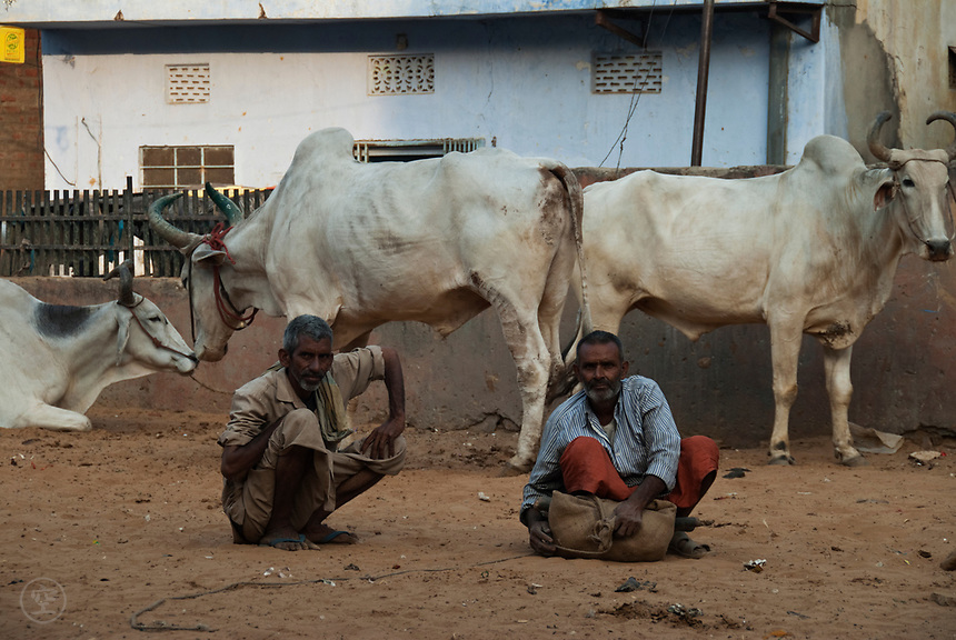 Men squat on the ground in front of tethered horned bulls, India.