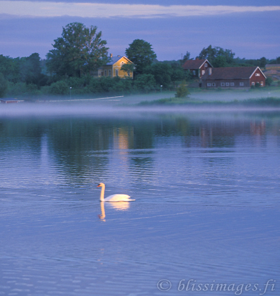 A graceful swan paddles by ruissalo kartano on a misty morning at sunrise.